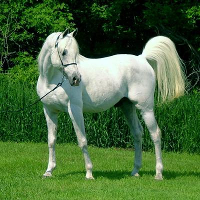 BubblesLegacy's horses Arabian